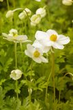 White spring anemone green foliage. Natural anemones buttercups garden plant white petals yellow stamens, early spring flowers. White spring anemone green stock images