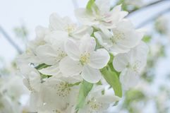 White spring blossom flowers close-up Royalty Free Stock Photos
