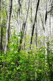 White spring birch trees in the forest. Stock Image