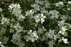 Caucasian chubushnik ordinary. White and spring blooming Caucasian chubushnik ordinary Philadelphus coronarius Royalty Free Stock Photography