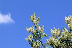 White spring blooming lilac stretching towards the sun and blue spring sky stock photo