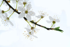 White Spring Blooms Stock Photos