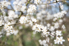 White spring blooms on tree branch Royalty Free Stock Photography