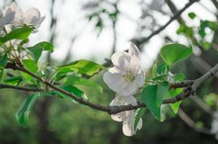 White spring blossom flowers on branch Royalty Free Stock Photography