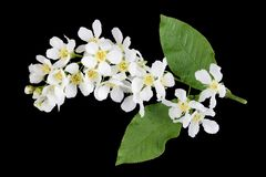 White spring blossom flowers of forest Wild Plum  tree isolated on black. White spring blossom flowers of forest Wild Plum  tree. Isolated on black studio macro royalty free stock image