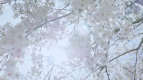 White Spring Blossom Sunshine Lens Flare. Medium low angle handheld high dynamic range shallow depth of field shot of tree branches covered in cherry blossom stock video footage