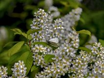 White spring blossoms, black cherry blossom with white butterfly Royalty Free Stock Image