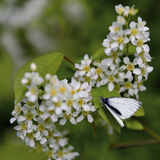 White spring blossoms, black cherry blossom with white butterfly Stock Photo