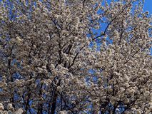 White Spring Blossoms Blooming On Tree Branches Against A Blue Sky stock photography