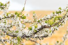 White spring blossoms on branches of a yellow plum tree stock image