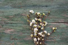 Spring blossoms on old shabby wood. White spring blossoms and buds on old shabby wood Royalty Free Stock Image