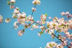White Spring Blossoms Stock Images