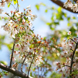 White Spring Blossoms of Cherry. Flowers Outdoor Stock Images