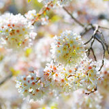 White Spring Blossoms of Cherry. Flowers Outdoor Royalty Free Stock Photos