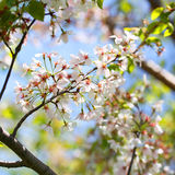 White Spring Blossoms of Cherry Stock Image