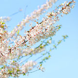 White Spring Blossoms of Cherry. Royalty Free Stock Photo