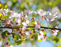 White Spring Blossoms of Cherry. Flowers Royalty Free Stock Photography