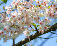 White Spring Blossoms of Cherry Royalty Free Stock Photo