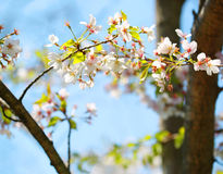 White Spring Blossoms of Cherry Stock Photo