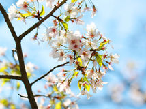 White Spring Blossoms of Cherry. Flowers Stock Image