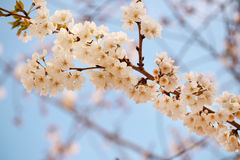 White Spring Blossoms of Cherry Stock Photography