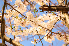White Spring Blossoms Royalty Free Stock Images