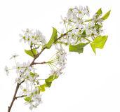 White Spring Blossoms of Cherry isolated Stock Image