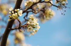 White Spring Blossoms Stock Photos