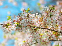 White Spring Blossoms. Flowers Royalty Free Stock Photography