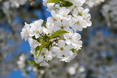 White spring Royalty Free Stock Photo
