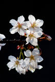White Spring cherry blossoms on black background Stock Photos