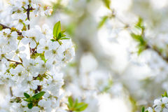 White Spring Cherry Flowers on Bright Blurred Background Stock Photo