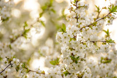White Spring Cherry Flowers on Bright Blurred Background Royalty Free Stock Photos