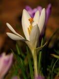White Spring crocus Crocus vernus Stock Photo