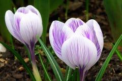 White spring crocus flowers Stock Photos