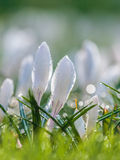 White spring crocus with water drops Royalty Free Stock Photos
