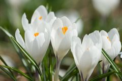White spring crocuses Royalty Free Stock Images