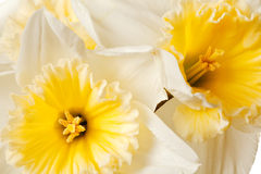 White Spring Daffodil Flower Royalty Free Stock Images