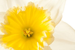 White Spring Daffodil Flower Royalty Free Stock Image