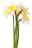 White Spring Daffodil Flower Bunch Stock Image