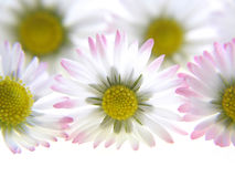 White spring daisies Royalty Free Stock Photography