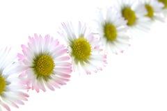 Free White Spring Daisies Stock Photo - 2140460