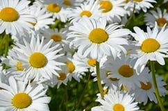 White spring daisies Royalty Free Stock Photos