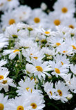 White spring daisies in a garden Stock Photo