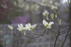 White Spring Dogwood Tree Flowers Stock Image