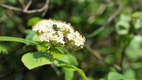 White spring elderberry flower cluster with some beetle in it, 4K. White spring elderberry flower cluster, latin name Sambucus Nigra in spring daylight sunshine stock footage