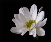 White spring flower. S on black with drops of water Royalty Free Stock Image