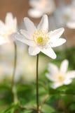 White spring flower Stock Photo