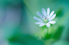 White spring flower abstract Royalty Free Stock Image