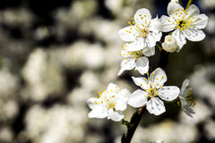 White spring flower blossom on branch. White spring flowers blossom on a tree branch in spring Royalty Free Stock Images